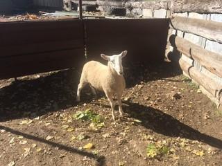 1 Flock Ram