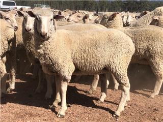 143 NSM Ewe Lambs
