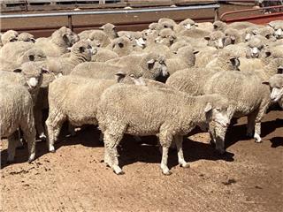 121 Ewe Lambs