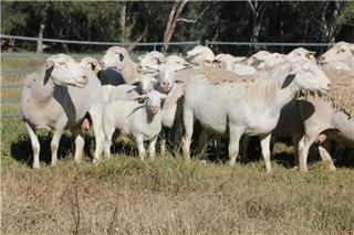 40 Station Mated Ewes & 23 Lambs