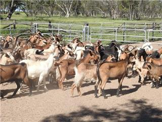 140 Goats - Does