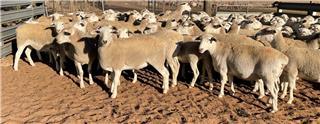 90 Scanned Empty Ewe Lambs