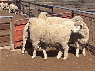 4 Flock Rams
