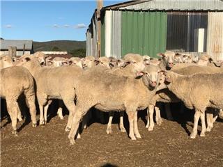 265 Ewe Lambs