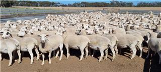 377 SIL Ewes