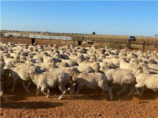 254 Store Wether Lambs