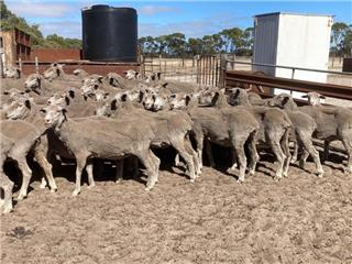 288 SIL Ewes