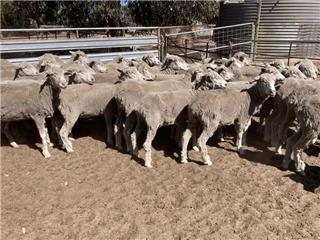 51 SIL Ewes