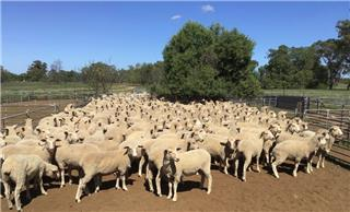 224 Future Breeder Ewe Lambs
