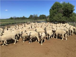 150 Wether Lambs