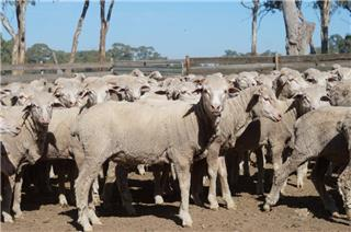 323 Store Wether Lambs
