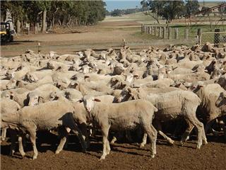 383 Store Wether Lambs