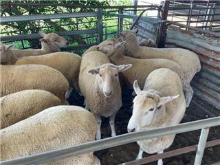222 Ewes