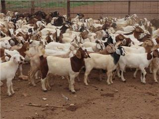 250 Goats - Does
