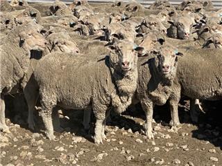 128 SIL Ewes