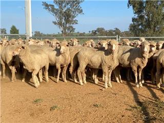 212 Future Breeder Ewe Lambs