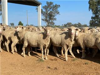 255 SIL Ewes
