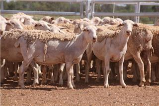 135 Station Mated Ewes