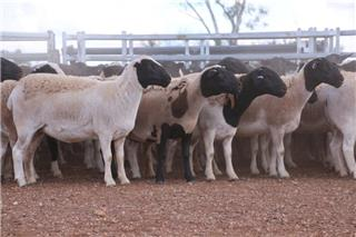 240 Station Mated Ewes