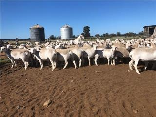 282 SIL Ewe Lambs