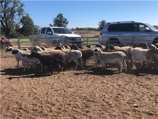 77 SIL Ewe Lambs