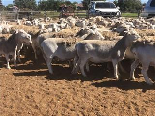 142 SIL Ewes
