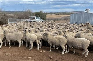 425 Station Mated Ewes