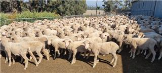 400 Wether Lambs