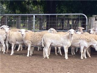 29 Future Breeder Ewe Lambs