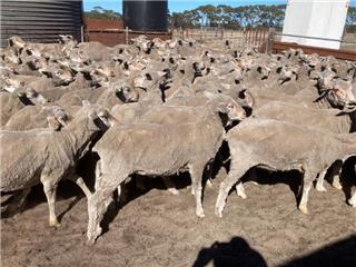 198 SIL Ewes