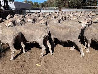209 SIL Ewes