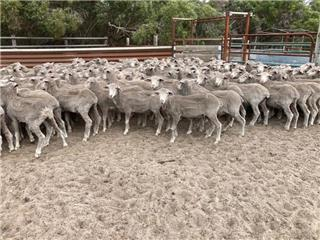 400 Store Wether Lambs