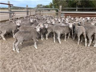 390 Future Breeder Ewe Lambs