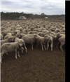 1065 Store Wether Lambs