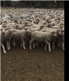 1082 Trade Wether Lambs