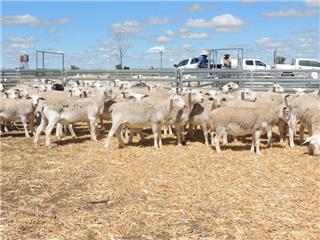 157 Store Wether Lambs