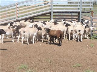 61 Store Wether Lambs