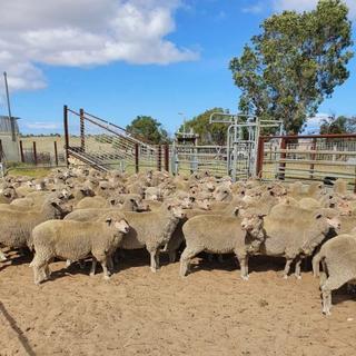 720 SIL Ewes