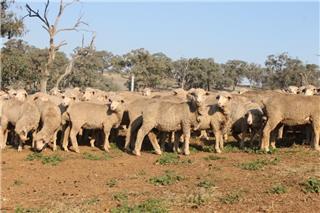 160 NSM Ewe Lambs