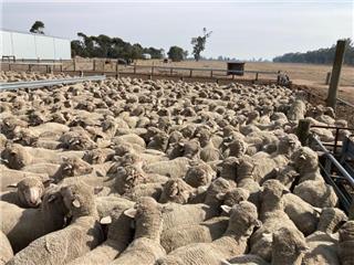 490 Woolgrower Wether Lambs