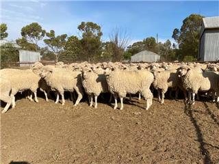267 SIL Ewes