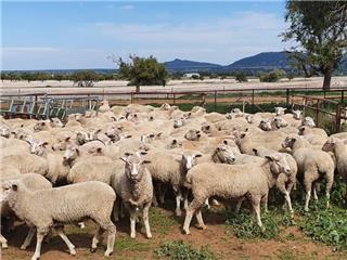 160 Ewe Lambs