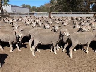 293 SIL Ewes
