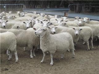 133 SIL Ewes