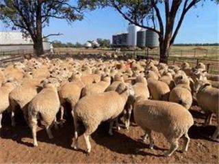 177 SIL Ewes