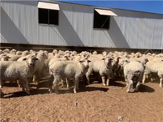 400 Woolgrower Wether Lambs