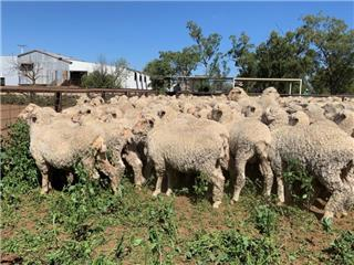 215 Woolgrower Wether Lambs