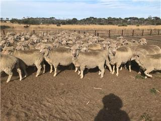 146 Station Mated Ewes