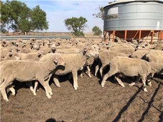 142 Future Breeder Ewe Lambs