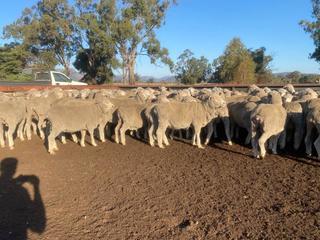 157 SIL Ewes